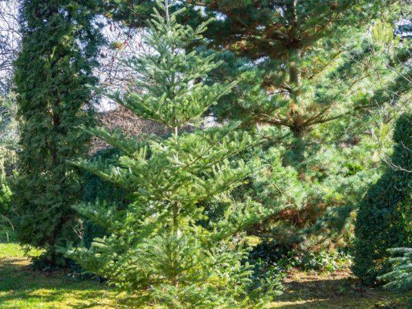 Первые два года после посадки дерево не нужно удобрять