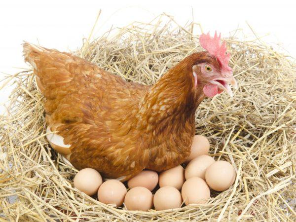 Самки несут крупные яйца