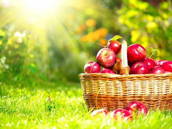 Правильно собранные яблоки хорошо хранятся