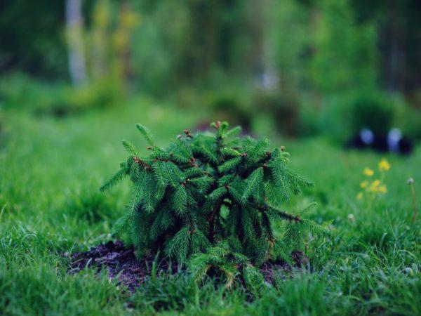 Молодое деревце желательно оберегать от солнечных лучей