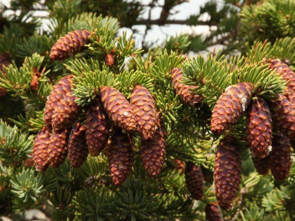 От переизбытка влаги дерево может заболеть