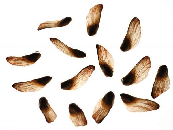 Размножение семенами является трудоемким процессом