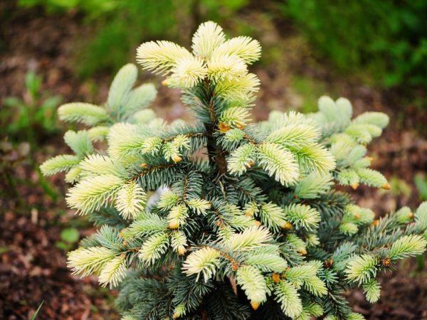 Ель колючая Белобок — уникальное растение с необычным окрасом хвои