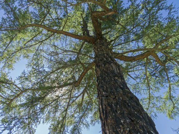 Сибирская лиственница: как выглядит растение и где можно выращивать