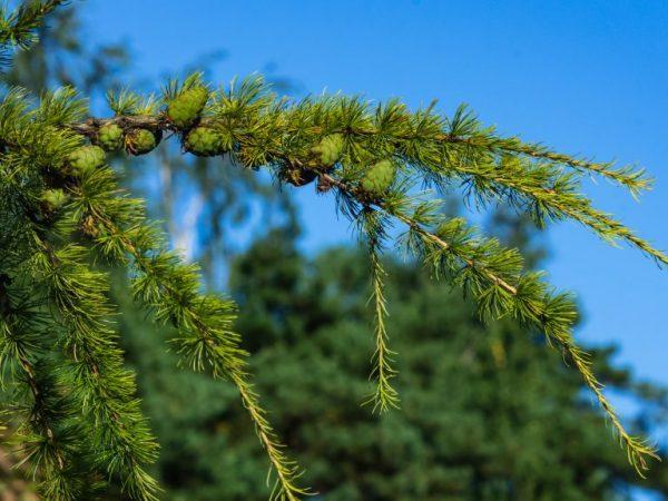 Дерево может прожить более 500 лет