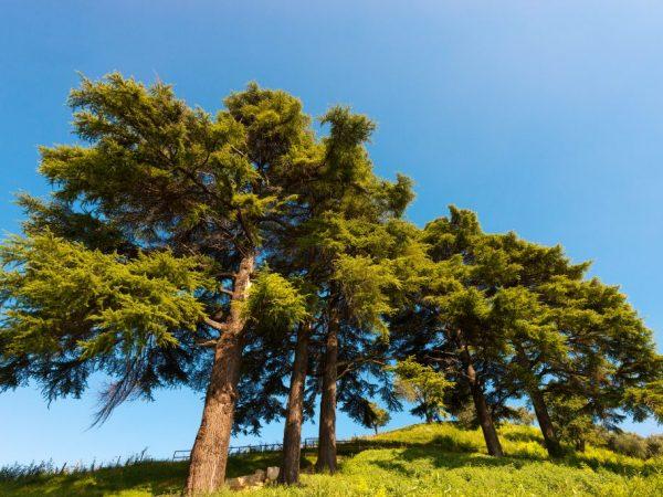 Крону дерева можно формировать