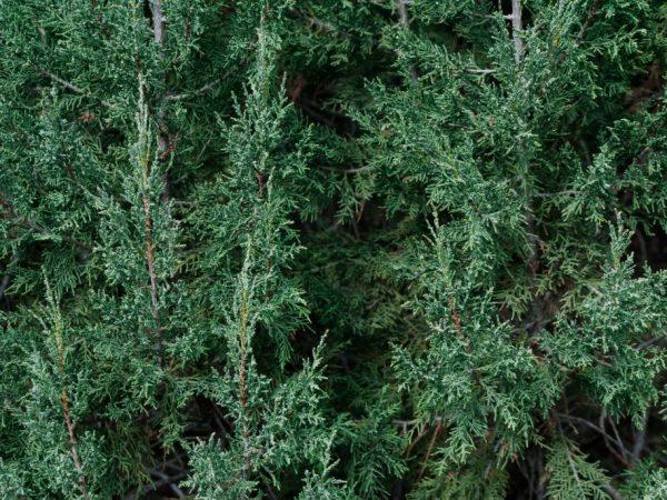 Взрослые деревья не нужно укрывать на зиму