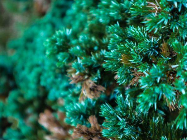 Обработка Арцеридой поможет вылечить растение