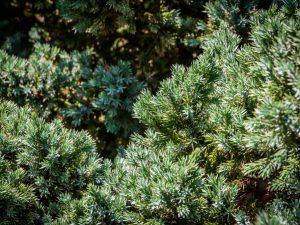 Можжевельник Мейери: как выращивать на даче