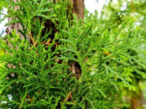 Можжевельник Казацкий: разнообразие сортов для любого сада