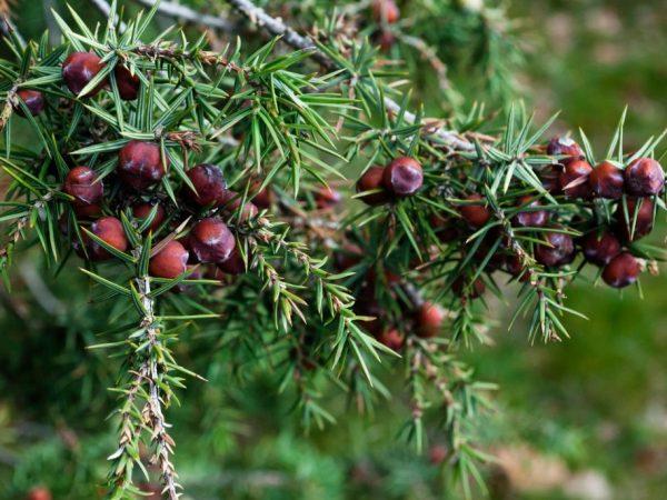 Крымский можжевельник —шикарное дерево для южных садов