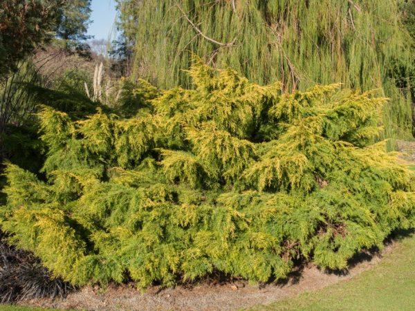 Можжевельник Олд Голд: яркий кустарник для сада