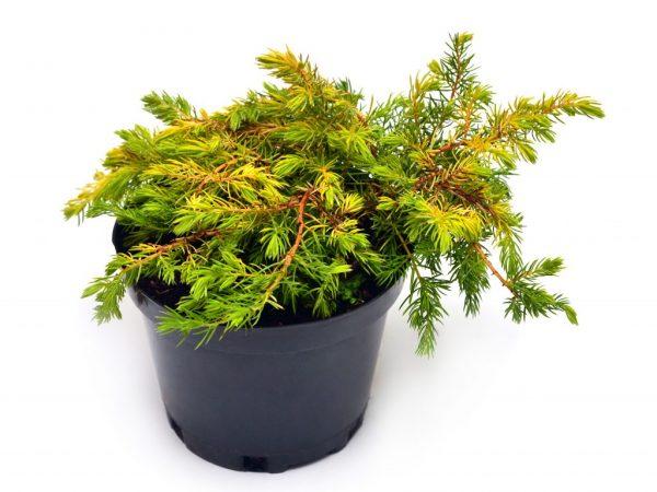 Растение не любит застоя влаги