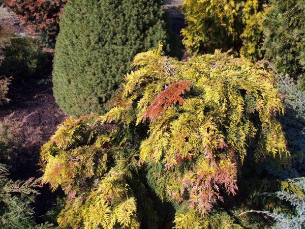 При плохом уходе растение может заболеть