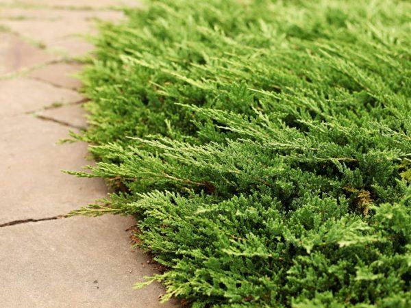 Можжевельник можно выращивать в затененных местах