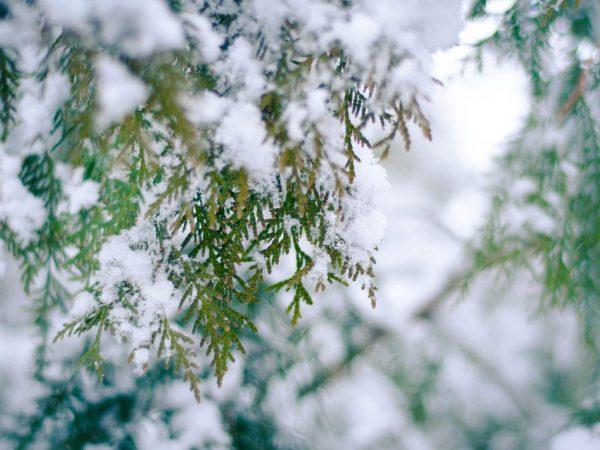 Дерево вырастает красивым и пушистым