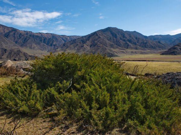 Можжевельник в Сибири: какие сорта можно выращивать