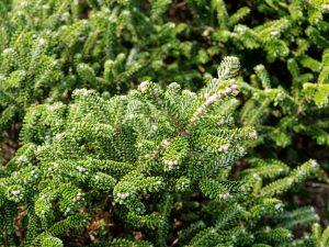 Бальзамическая пихта — декоративный кустарник из субтропиков