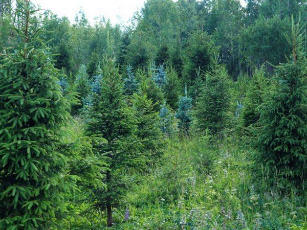 Семена можно брать с деревьев старше 15 лет