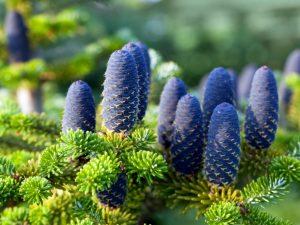 Дерево из новогодней сказки: пихта Нордмана в ландшафтном дизайне