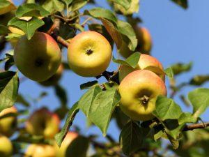 Зимостойкие яблони: лучшие сорта