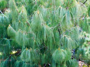 Гималайская Сосна — выращивание пушистой красавицы