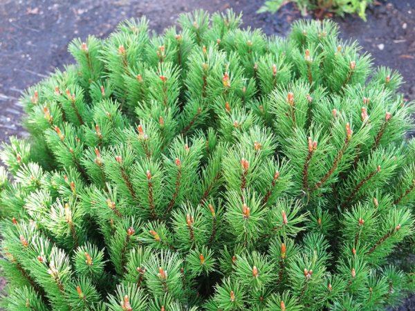 Горная сосна Мопс: как ухаживать за хвойным растением