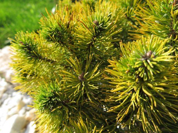 Дерево рекомендовано размножать семенным способом
