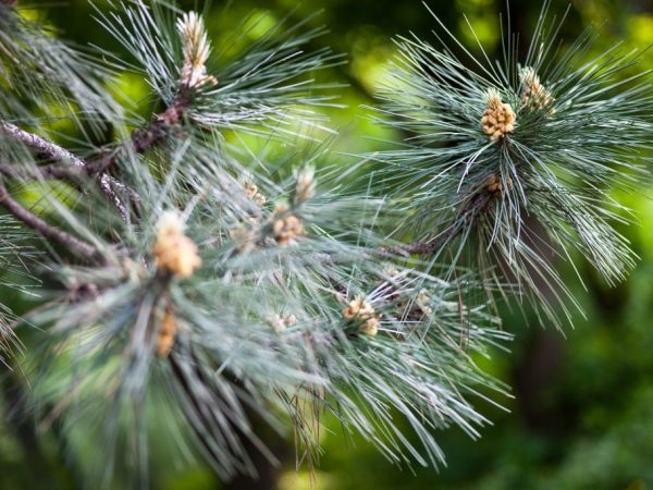 При хорошем уходе дерево болеет очень редко