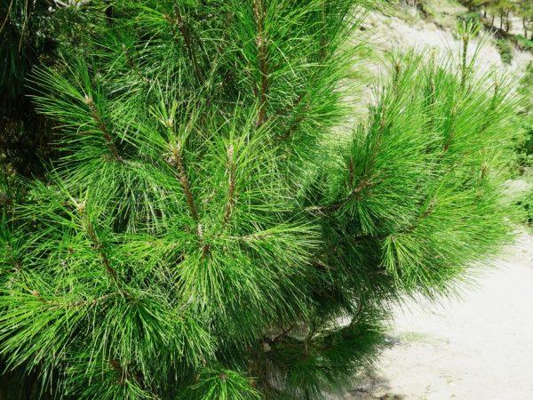 Дерево нужно регулярно подкармливать