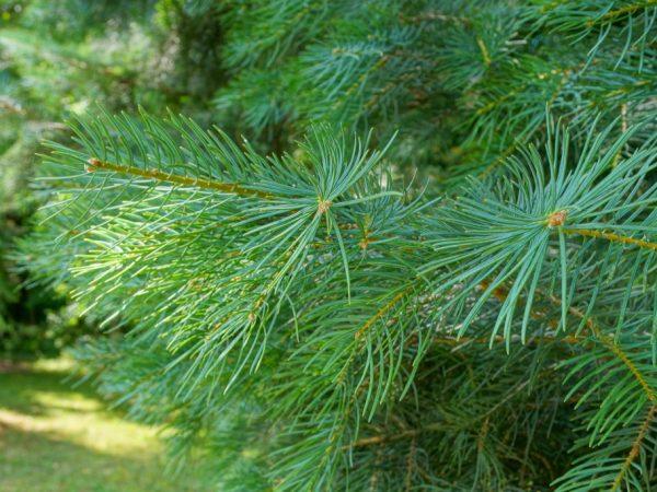 Дерево размножается только черенками