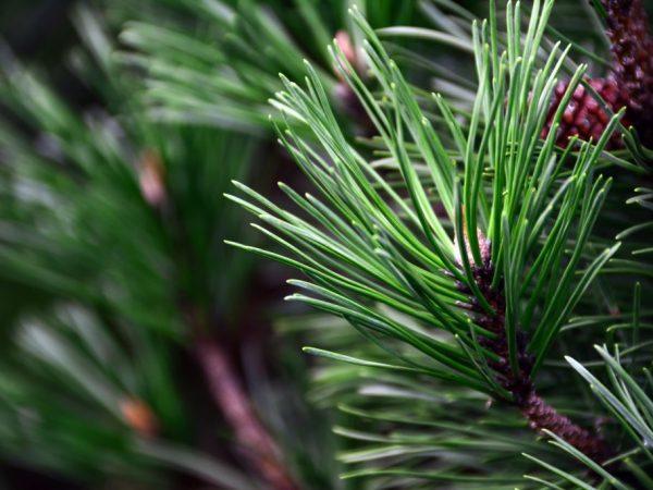 Сосна Сильверкрест: описание растения и уход