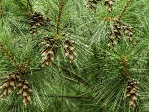 Сосна Веймутова — пышное хвойное деревце