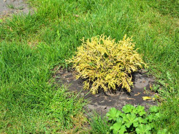 Растение удобряют два раза в год