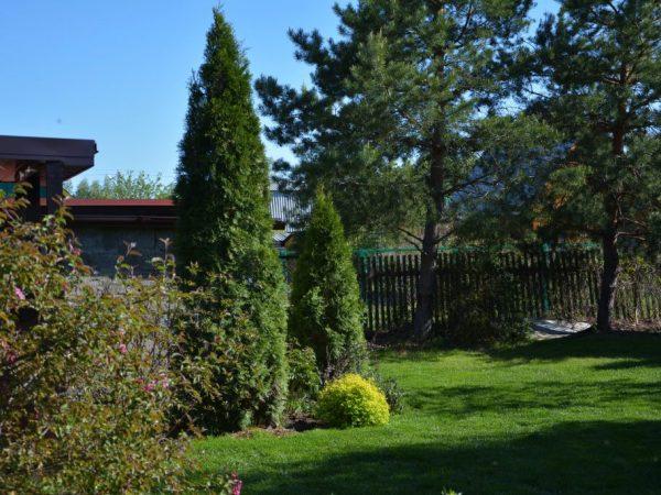 Туя западная Хозери — миниатюрное хвойное растение