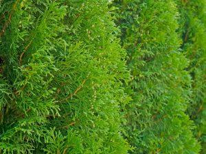 Туя складчатая Випкорд: как правильно выращивать хвойник