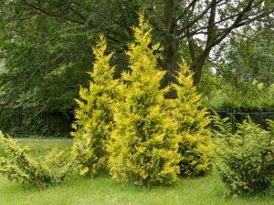 Туя западная Мириам — идеальный вариант украшения сада