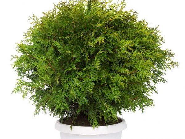 Туя западная Глобоза: шаровидный вечнозеленый хвойник