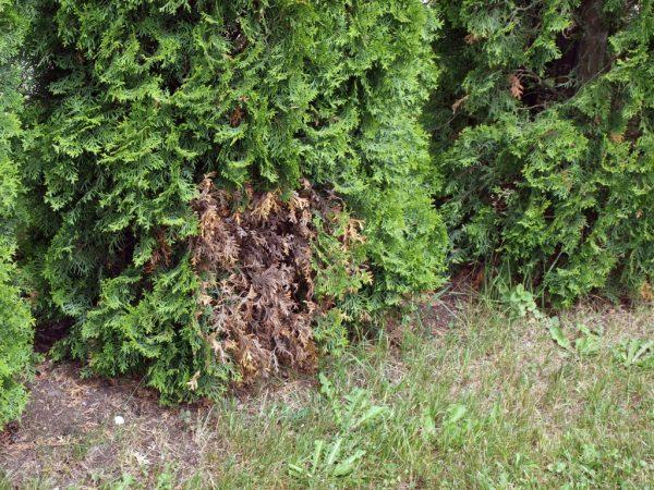 Пораженные участки дерева необходимо удалить