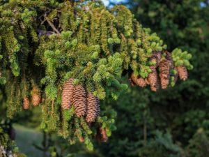 Сербская ель — многообразие сортов и их особенности