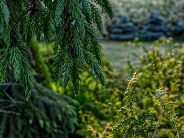Для посадки выбирайте здоровое растение