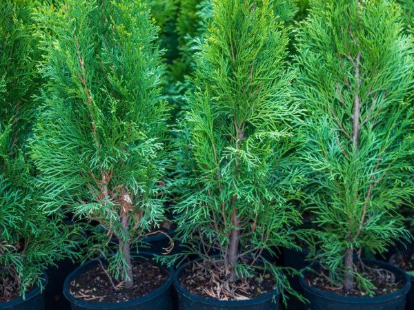Растениям можно придать любую форму