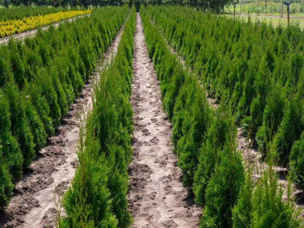 Растение можно выращивать в любом регионе