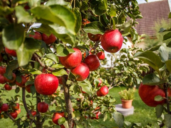 Плоды зимостойких сортов хорошо подходят для заготовок