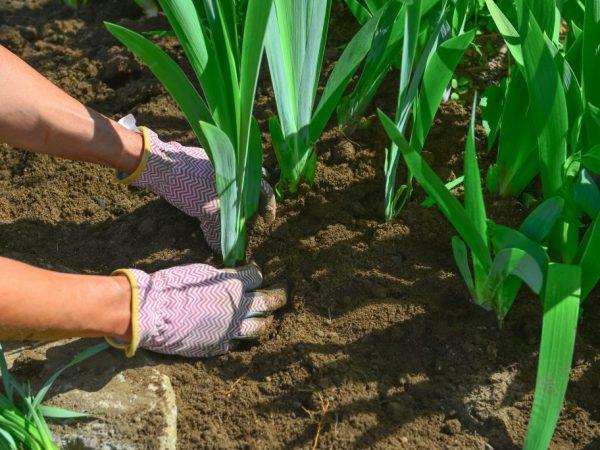 Для посадки выбирайте здоровые растения