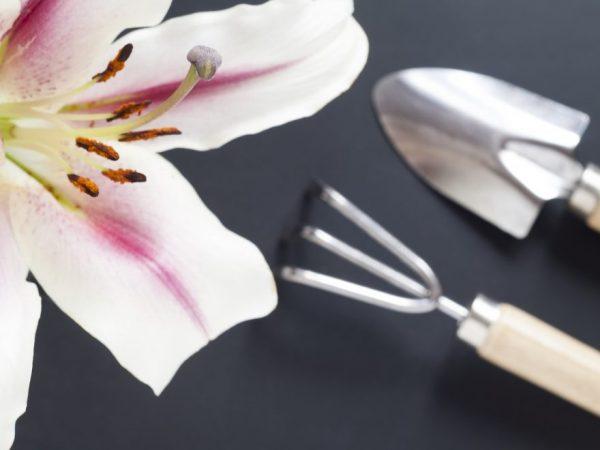 Пересадка лилий — возможна ли в осенний период