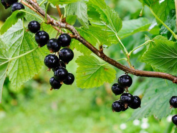 Правильная подготовка к зиме влияет на здоровье растения