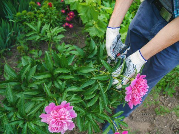 Как ухаживать за пионами осенью — готовим цветы к зиме