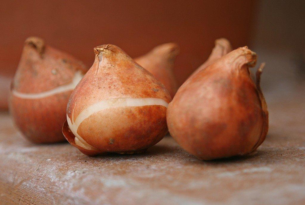 Луковицы тюльпана картинки