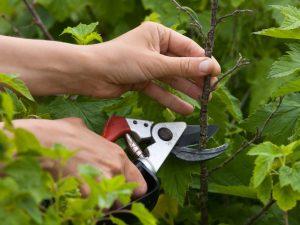 Омоложение смородины осенью — залог удачного урожая на следующий год